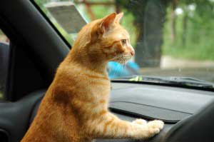 travel with cat by car